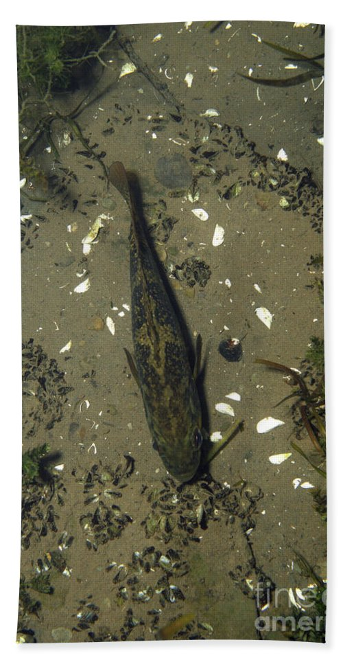 Fish Hand Towel featuring the photograph Rock Bass by Ted Kinsman