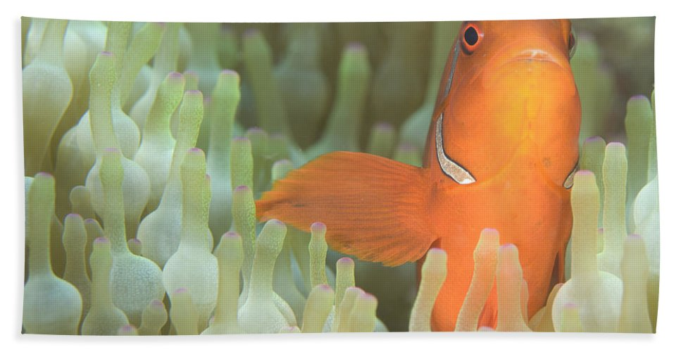 Fish Bath Sheet featuring the photograph Spinecheek Anemonefish In Anemone by Steve Jones