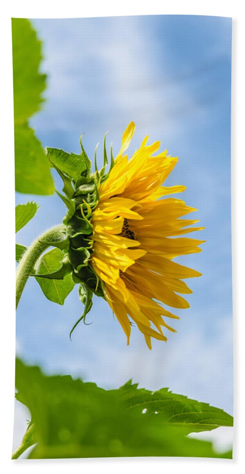 Orange Bath Sheet featuring the photograph Sunflower by Michael Goyberg