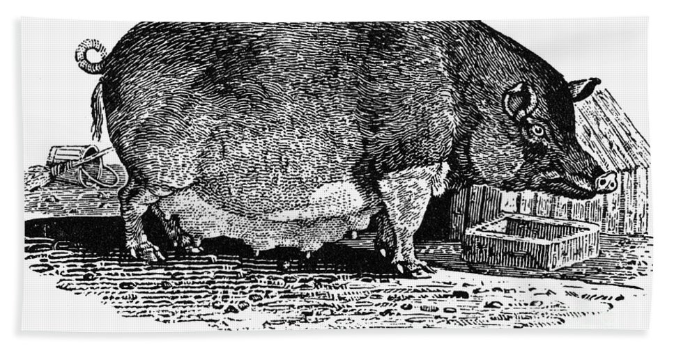19th Century Hand Towel featuring the photograph Swine, 19th Century by Granger