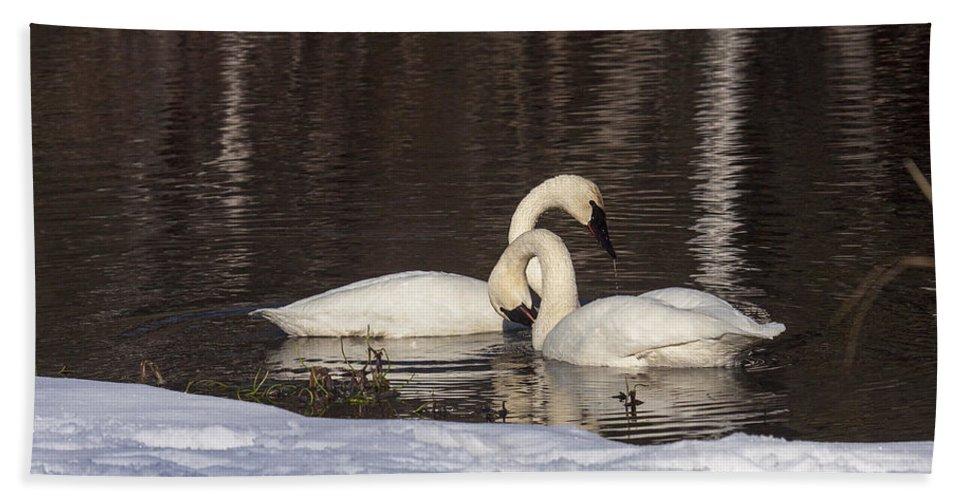 Doug Lloyd Bath Sheet featuring the photograph Trumpeter Swans by Doug Lloyd