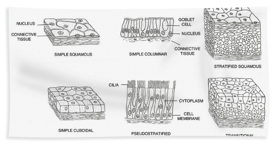 Science Hand Towel featuring the photograph Types Of Epithelial Cells by Science Source