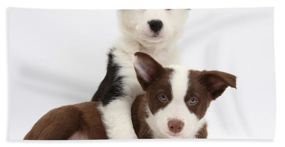 Animal Hand Towel featuring the photograph Border Collie Puppies by Mark Taylor