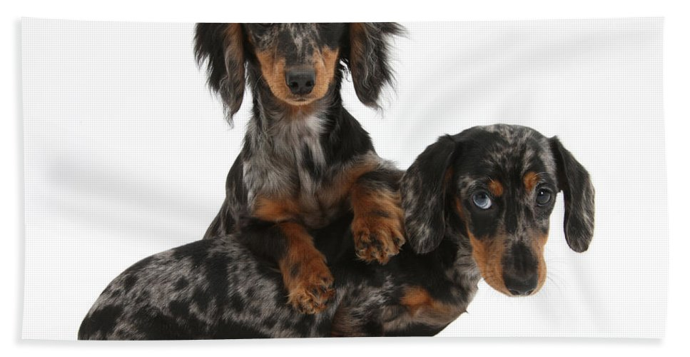 Animal Hand Towel featuring the photograph Dachshund Pups by Mark Taylor