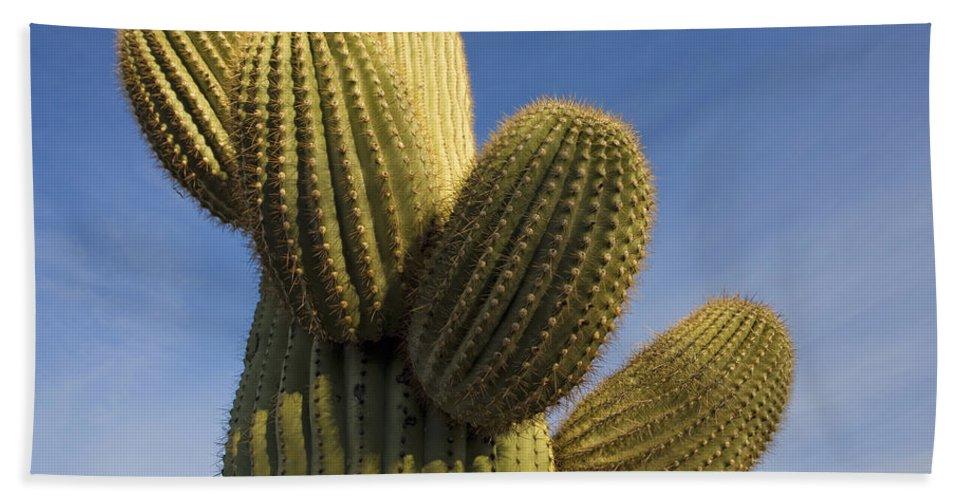 Mp Hand Towel featuring the photograph Saguaro Carnegiea Gigantea Cactus by Ingo Arndt