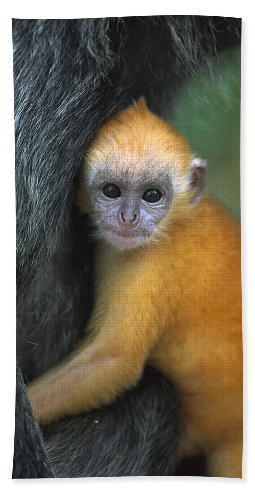 Mp Hand Towel featuring the photograph Silvered Leaf Monkey Trachypithecus by Cyril Ruoso