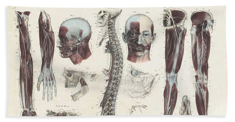 Anatomie Methodique Hand Towel featuring the photograph Anatomie Methodique Illustrations by Science Source