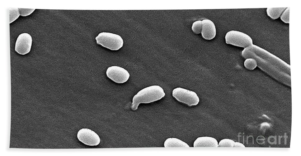 Science Hand Towel featuring the photograph Anthrax Bacteria, Sem by Science Source
