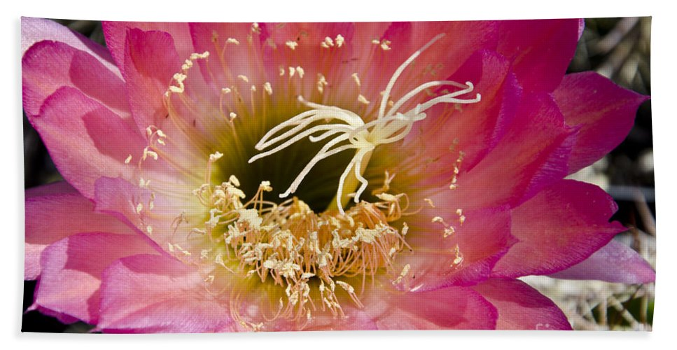 Pink Bath Sheet featuring the photograph Dark Pink Cactus Flower by Jim And Emily Bush