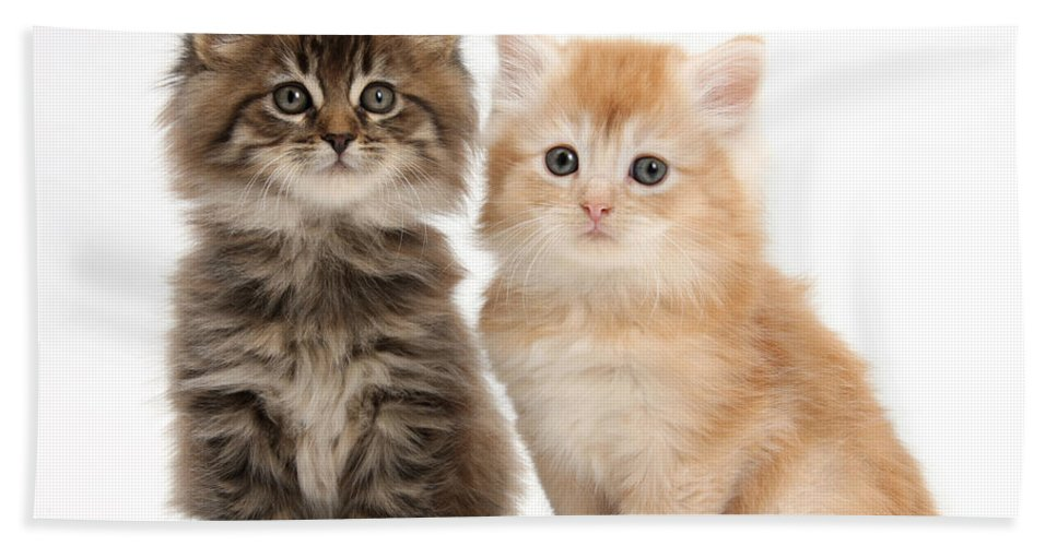 Animal Hand Towel featuring the photograph Maine Coon Kittens by Mark Taylor