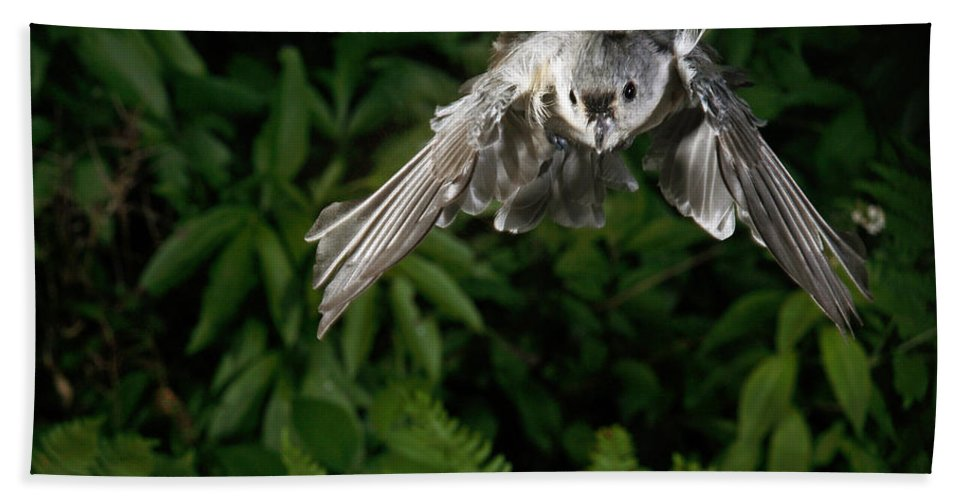 Songbirds Hand Towel featuring the photograph Tufted Titmouse In Flight by Ted Kinsman