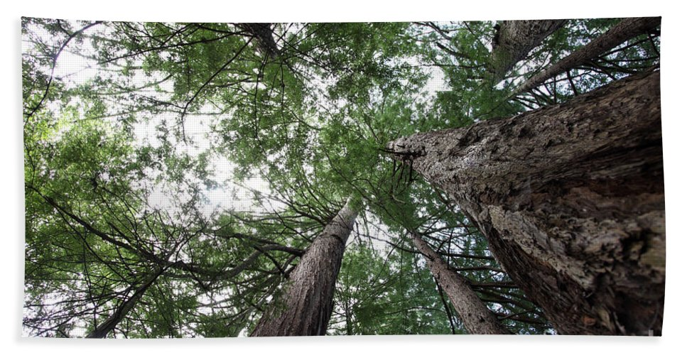 Coast Redwood Hand Towel featuring the Redwoods Sequoia Sempervirens by Ted Kinsman