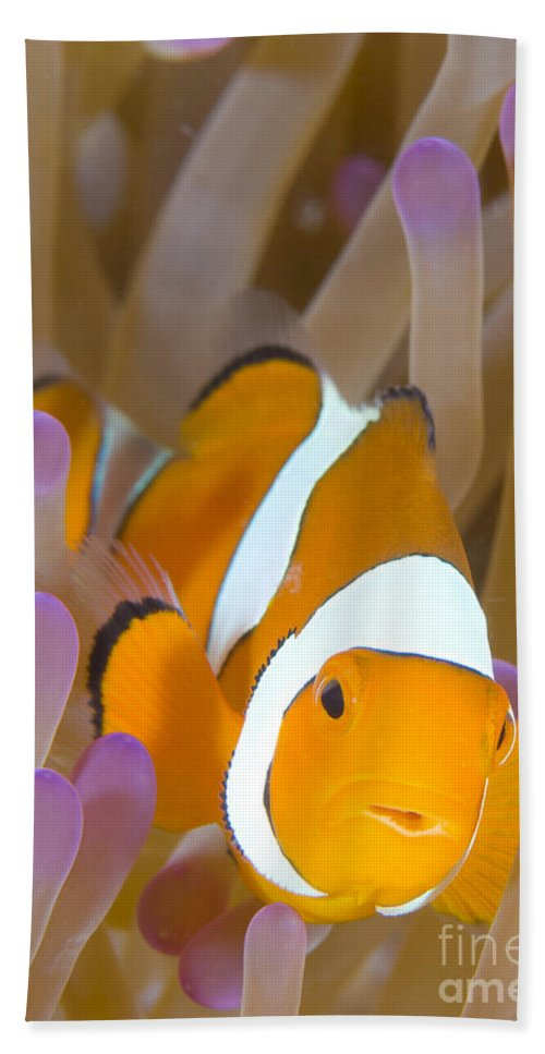 Amphiprion Percula Bath Sheet featuring the photograph A Clown Anemonefish In A Purple by Steve Jones