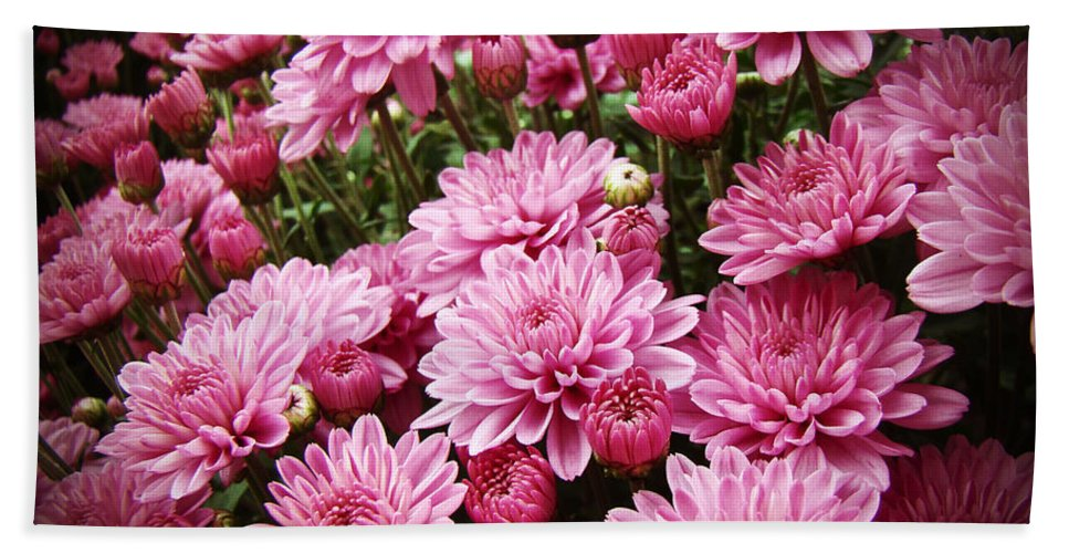 Chrysanthemums Bath Sheet featuring the photograph A Sea Of Pink Chrysanthemums by Mother Nature