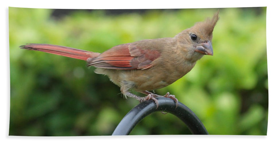 Cardinal Bath Sheet featuring the photograph A Warm Hello by Carol Groenen