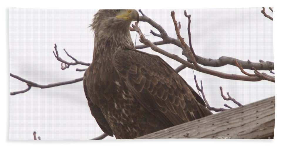 Eagles Bath Sheet featuring the photograph A Young Eagle In The Midst Of Change by Jeff Swan