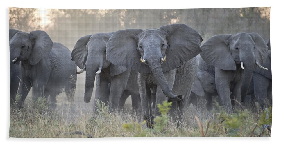 Mp Hand Towel featuring the photograph African Elephant Loxodonta Africana by Suzi Eszterhas
