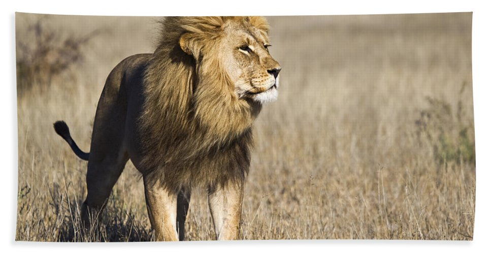 Mp Hand Towel featuring the photograph African Lion Panthera Leo Male, Khutse by Vincent Grafhorst