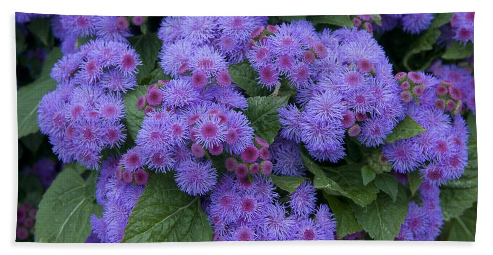 Vp Hand Towel featuring the photograph Ageratum Ageratum Sp Ariella Power by VisionsPictures