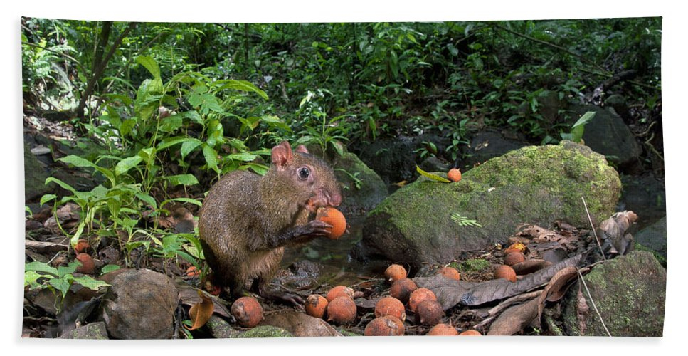 Mp Hand Towel featuring the photograph Agouti Dasyprocta Punctata Feeding by Christian Ziegler