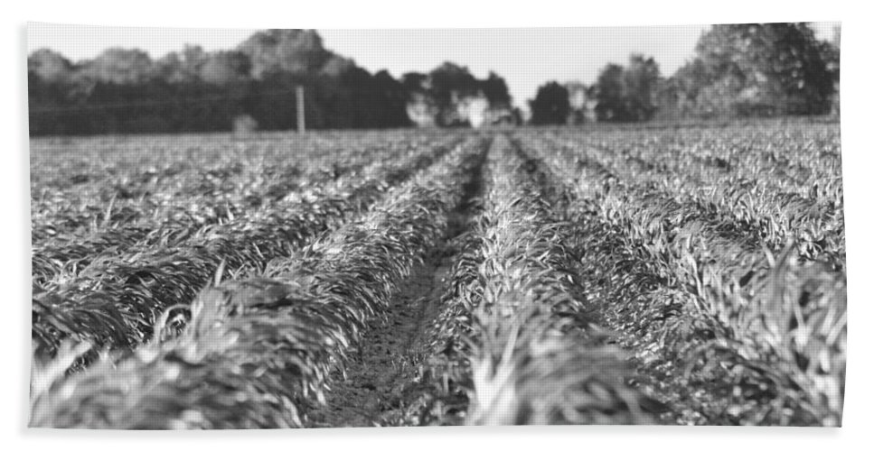 Land Bath Sheet featuring the photograph Agriculture- Corn 2 by Karen Wagner