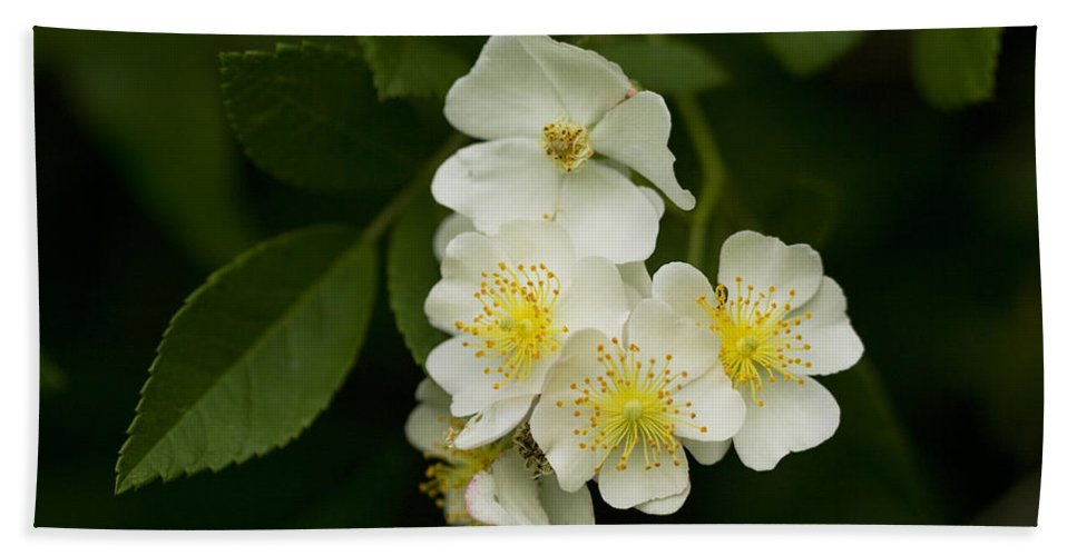 Rosa Multiflora Hand Towel featuring the photograph Alabama Wildflower Roses - Rosa Multiflora by Kathy Clark