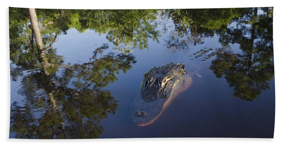 Mp Hand Towel featuring the photograph American Alligator In The Okefenokee Swamp by Pete Oxford