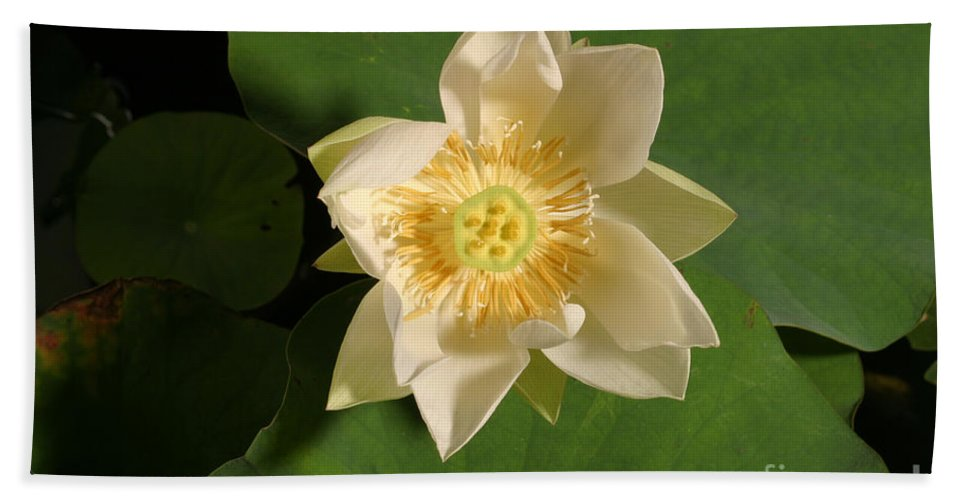 Aquatic Hand Towel featuring the photograph American Lotus Nelumbo Lutea Opening by Ted Kinsman
