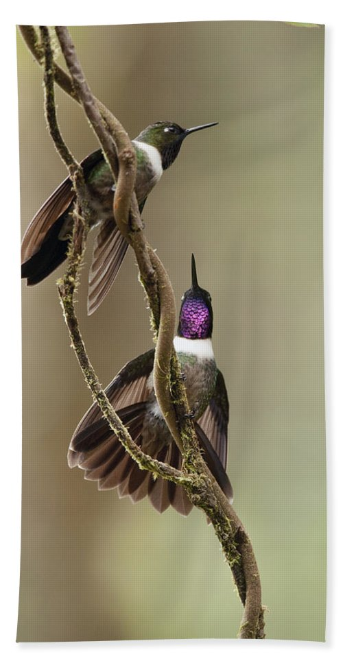 Mp Hand Towel featuring the photograph Amethyst-throated Sunangel Heliangelus by Murray Cooper
