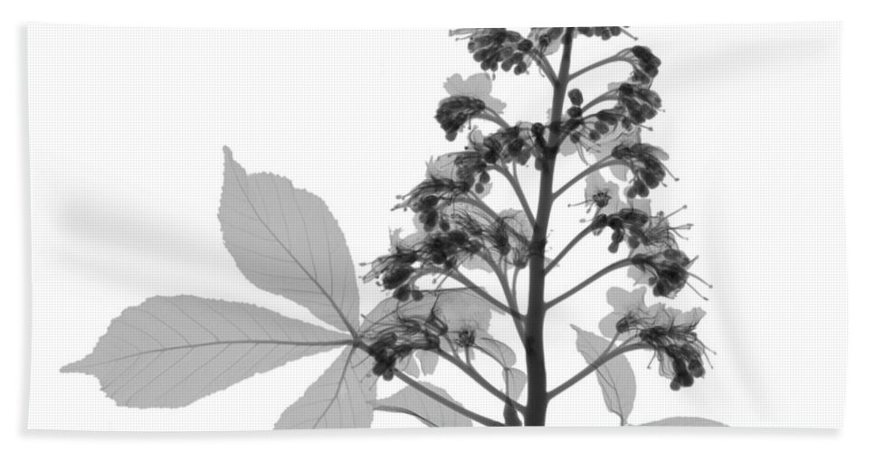 Xray Hand Towel featuring the photograph An X-ray Of A Chestnut Tree Flower by Ted Kinsman