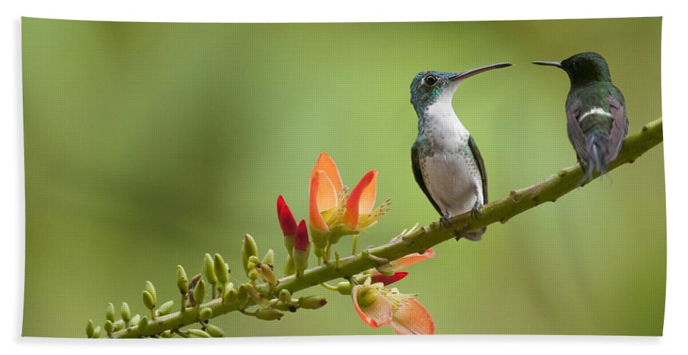 Mp Hand Towel featuring the photograph Andean Emerald Amazilia Franciae by Murray Cooper