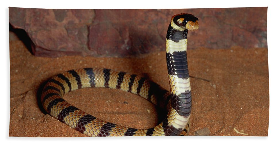 Mp Hand Towel featuring the photograph Angolan Coral Snake Africa by Michael and Patricia Fogden