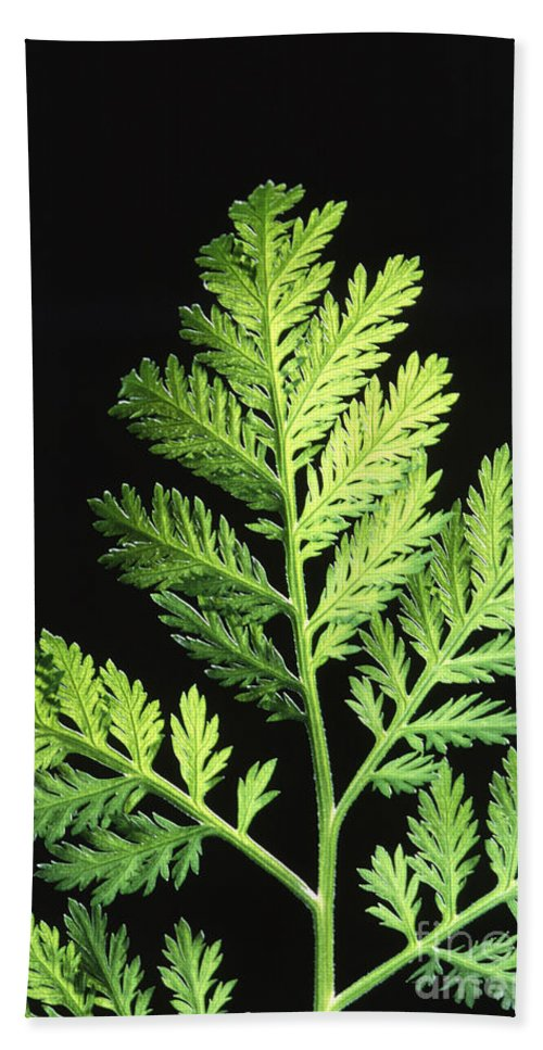 Annual Wormwood Hand Towel featuring the photograph Annual Wormwood by Science Source