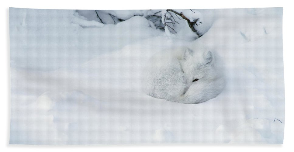 Mp Hand Towel featuring the photograph Arctic Fox Alopex Lagopus Curled by Matthias Breiter