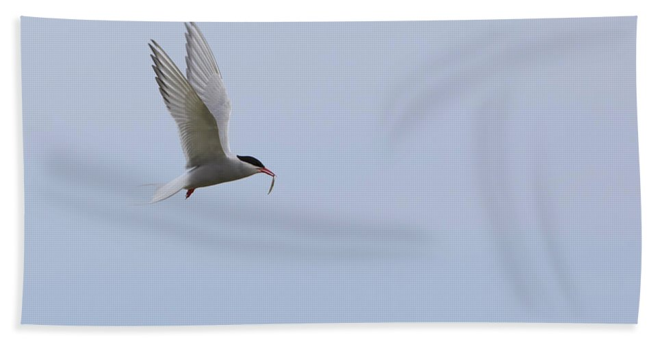 Nature Hand Towel featuring the photograph Arctic Tern by Louise Heusinkveld