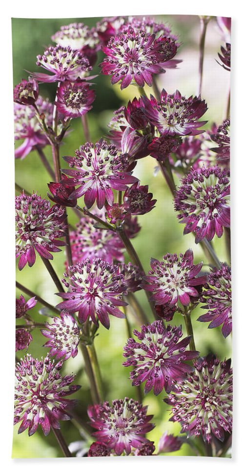 Vp Hand Towel featuring the photograph Astrantia Astrantia Sp Dark Shiny Eyes by VisionsPictures