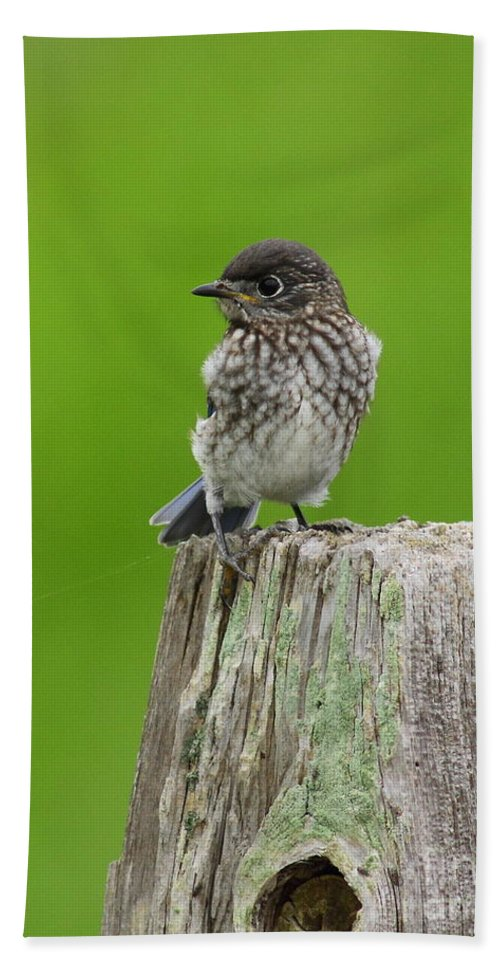 Animal Hand Towel featuring the photograph Baby Bluebird On Post by Robert Frederick