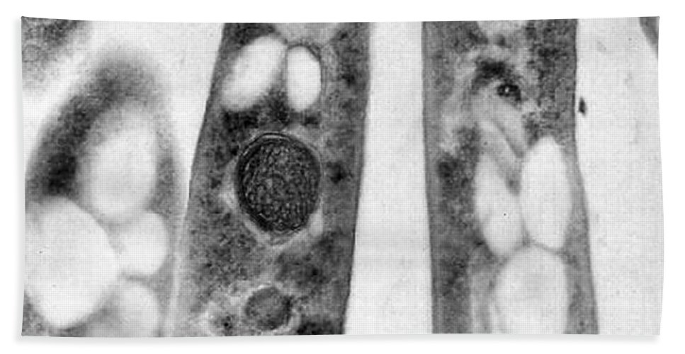 Science Hand Towel featuring the photograph Bacillus Anthracis, Tem by Science Source
