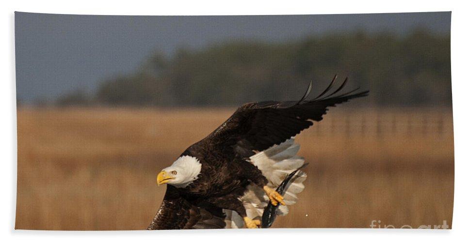 Bald Eagle Bath Sheet featuring the photograph Bald Eagle Catches Fish by TJ Baccari