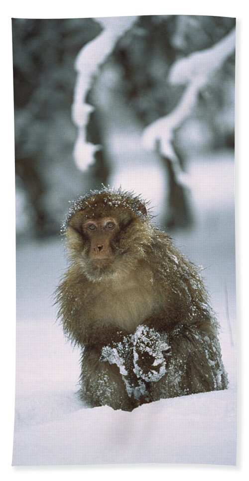 Mp Hand Towel featuring the photograph Barbary Macaque Macaca Sylvanus Male by Cyril Ruoso