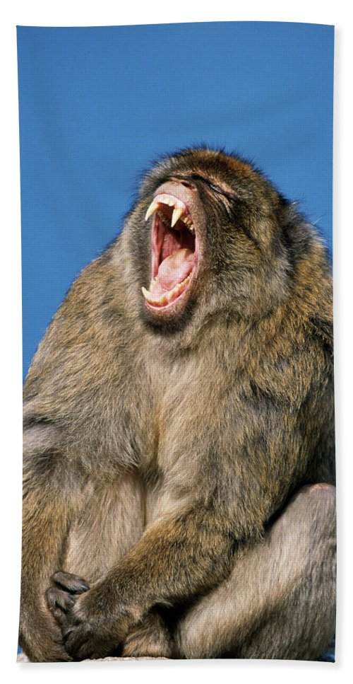 Fn Hand Towel featuring the photograph Barbary Macaque Macaca Sylvanus Yawning by Martin Woike