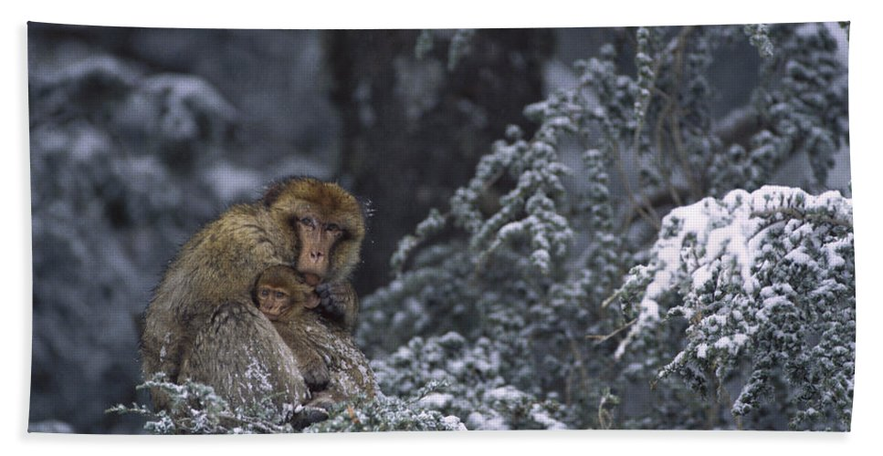 Mp Hand Towel featuring the photograph Barbary Macaque Male With Infant by Cyril Ruoso