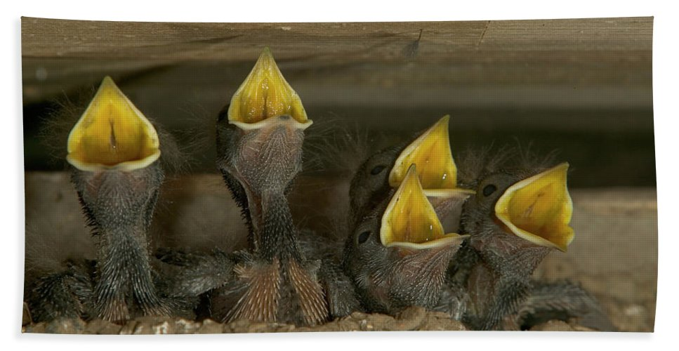 Mp Hand Towel featuring the photograph Barn Swallow Hirundo Rustica Chicks by Cyril Ruoso