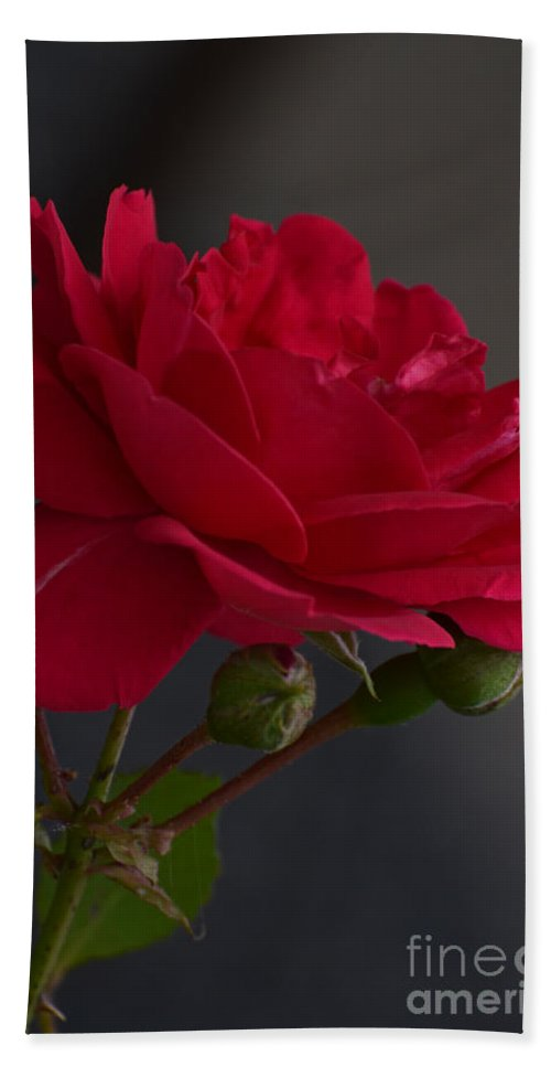 Nature Hand Towel featuring the photograph Betty's Red Rose II by Debbie Portwood