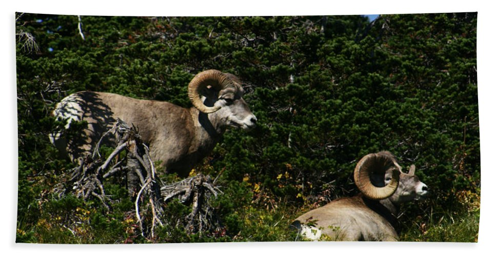 Big Horn Sheep Hand Towel featuring the photograph Big Horn Sheep Glacier National Park by Benjamin Dahl