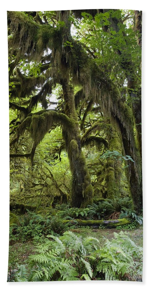 Mp Hand Towel featuring the photograph Bigleaf Maple Acer Macrophyllum by Konrad Wothe