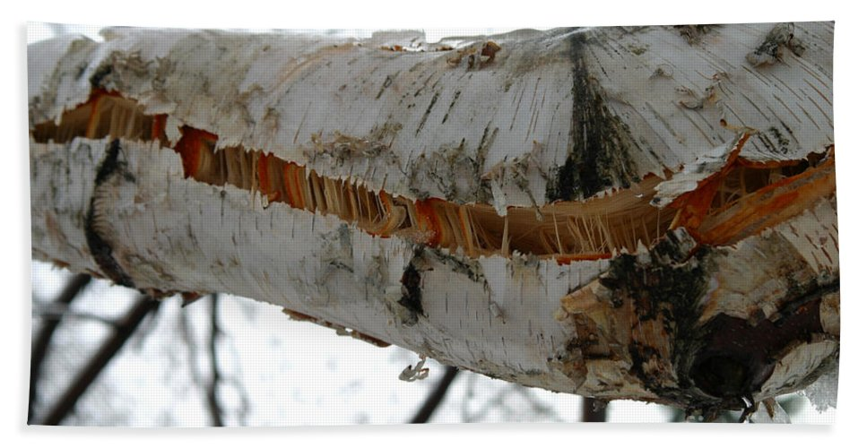 Weather Hand Towel featuring the photograph Birch Damaged In Ice Storm by Ted Kinsman
