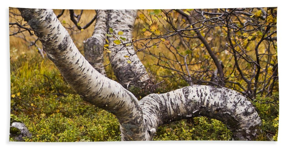 Tree Bath Sheet featuring the photograph Birch Trees In Autumn Foliage by Heiko Koehrer-Wagner