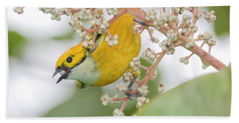 Yellow Bird Bath Sheet featuring the photograph Bird With Berry by Tom and Pat Cory