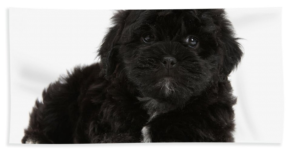 Animal Hand Towel featuring the photograph Black Cockerpoo Puppy by Mark Taylor